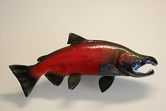 [Coho Salmon male in spawning colors.  Picture by U.S. Fish & Wildlife Service - Pacific Region, used under the CC-BY-SA 2.0 license]