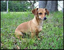 220px-Chihuachshund