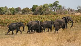 elephants in bwabwata